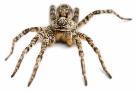Macro shot of spider, isolated on white Stock Photo - 6486375