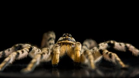 Macro of tarantula on black reflective plane, low point of view Stock Photo - 6486372