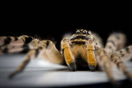 extreme macro of tarantula waiting for attack Stock Photo - 6486376