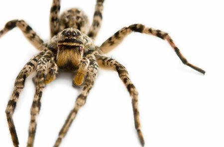 Macro picture of spider isolated on white Stock Photo - 6570144
