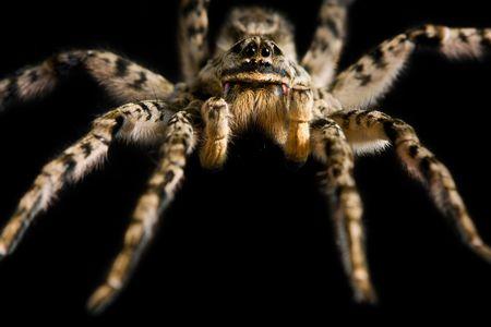Macro of spider tarantula isolated on black Stock Photo - 6606873