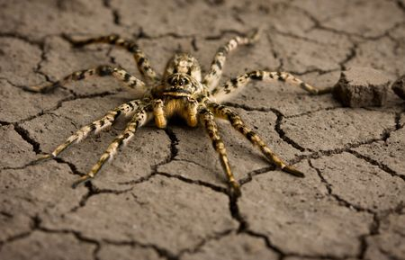 Macro shot of venomous spider on dry eroded soil texture Stock Photo - 6606883