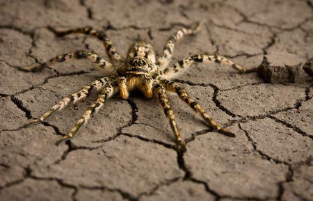 Macro shot of venomous spider on dry eroded soil texture Stock Photo - 6606883