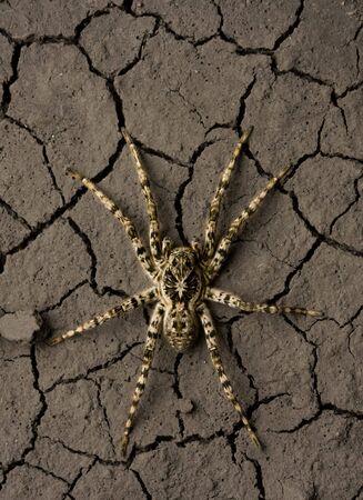 Close up of tarantula in desert, from above shot Stock Photo - 6606885