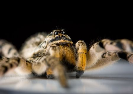 studio shot of tarantula spider, low point of view Stock Photo - 6606869