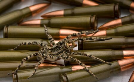 Tarantula spider over cartridges, weapon danger concept Stock Photo - 6606880
