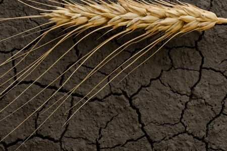 parch: Macro of one grain ear over cracked earth