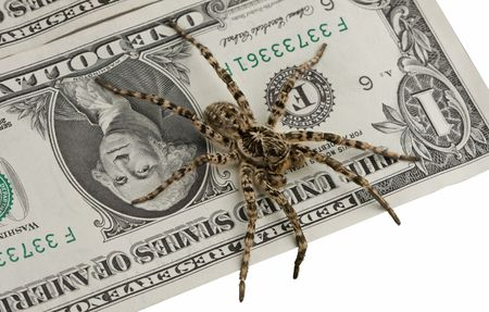 Tarantula standing guard of money isolated on white, savings protection concept photo