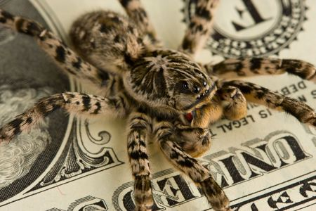 Tarantula standing guard of money, investment protection concept photo