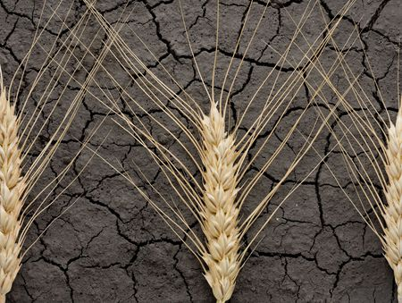 waterless: Ears over cracked soil as waterless land fertility concept  Stock Photo