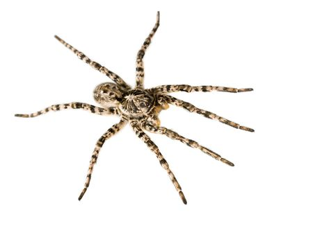 Huge poison spider isolated on white Stock Photo