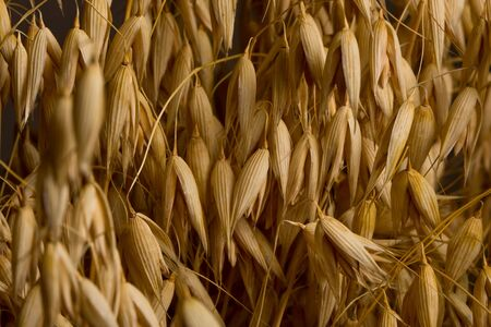 oat ears background, crop capacity concept Stock Photo - 7071191