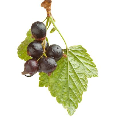 Studio shot of black currant branch