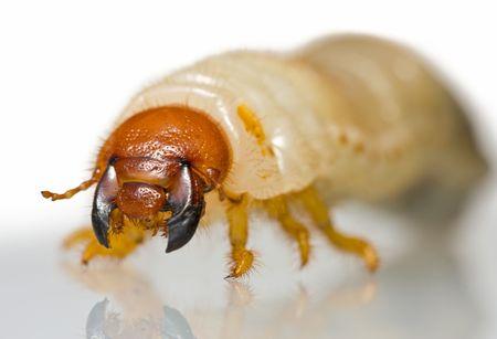 parassiti agricoli - larva di Melolontha melolontha anteriore basso punto di vista su sfondo bianco con la riflessione