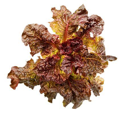 lactuca sativa: head of Lactuca sativa lettuce isolated on white Stock Photo