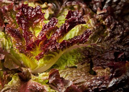 lactuca sativa: Full-frame closeup of Lactuca sativa lettuce leaves