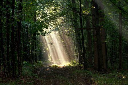 Luce solare pour attraverso gli alberi nella foresta nebbioso