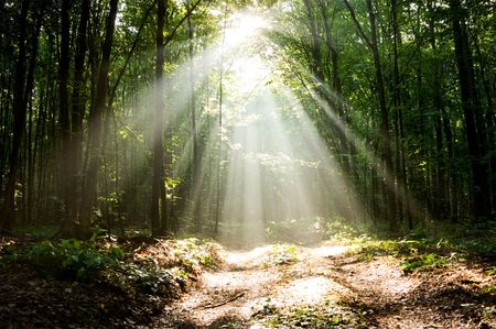 Sun beams pour through trees in misty forest Stock Photo - 8139307
