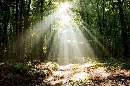 Sun pour Balken durch Bäume in nebligen Wald