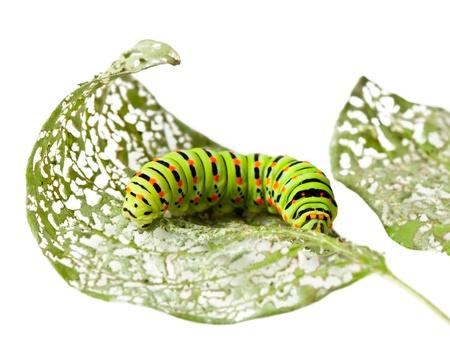 Macro of caterpillar on damaged leaf isolated on white photo