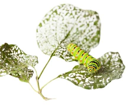 Macro of caterpillar on chewed leaf isolated on white photo