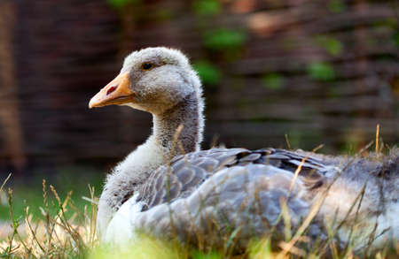 palmiped: Close-up of grey domestic goose sitting on farm yard Stock Photo