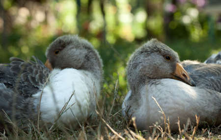 Two young grey geese looking in opposite direction