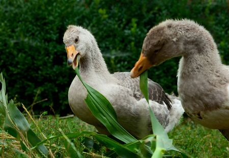 poultry yard: Close-up of grey domestic geese eating on poultry yard Stock Photo