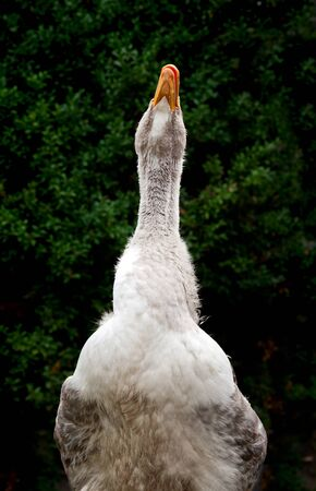 honking: Close-up of grey domestic goose honking