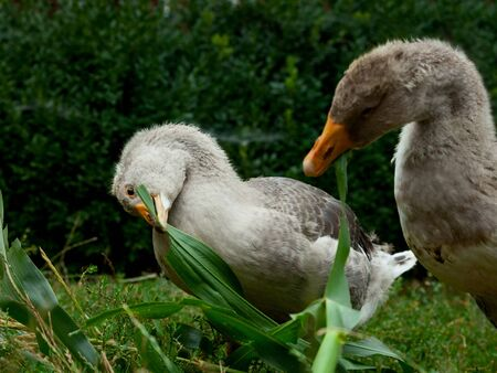palmiped: Two domestic geese eating on poultry yard Stock Photo