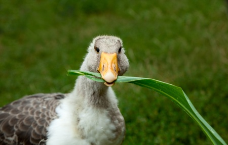 palmiped: Close-up of young goose eating corn leaves