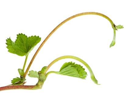 Strawberry flagellum (growing runner) isolated on white