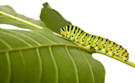 studio shot of butterfly larva isolated on white photo