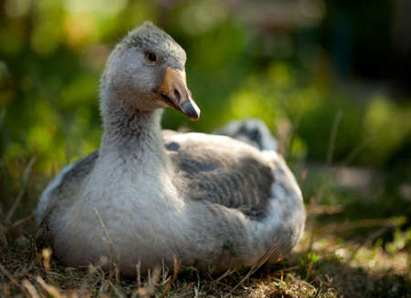 palmiped: Close-up of young domestic goose sitting on grass