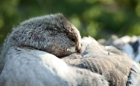 palmiped: Close-up of grey sleeping goose hiding beak under wing Stock Photo