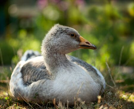 Close-up of grey domestic goose resting on farm yard