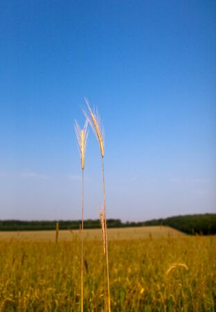 Macro of ripe ear on farmland background Stock Photo - 8971952