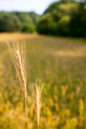 Macro of wheat ear over farmland background photo