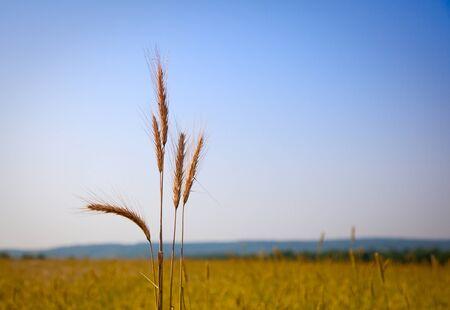 Macro of ripe ears on corn field background Stock Photo - 8971968