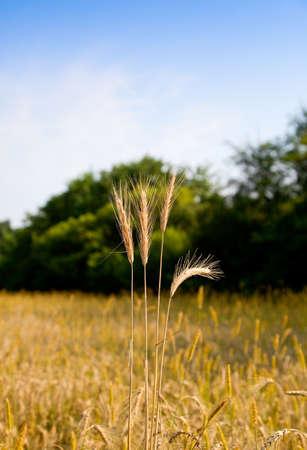 Macro of ripe ear on farmland background Stock Photo - 8971974