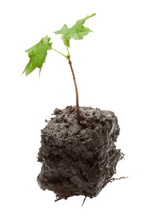 Maple sprout in cube shaped piece of dirt - new life concept