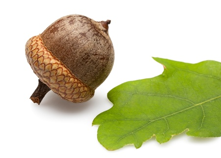 Macro of brown acorn and oak leaf isolated on white