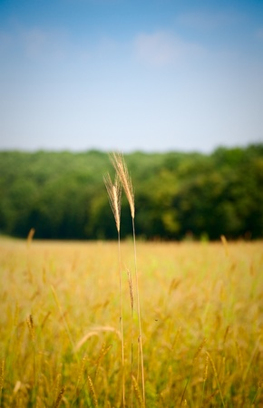 Macro of ripe ear on corn field background Stock Photo - 9238867