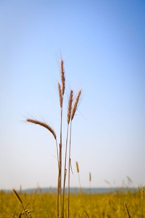 Bunch of ripe ears over field of golden cereal crop Stock Photo - 9238864