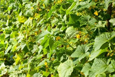 liana: Close-up of cucumber liana in summer garden Stock Photo