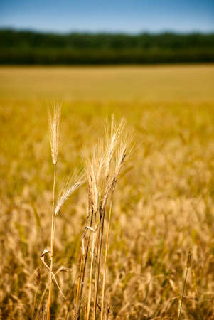 Wheat ears over field ready for harvesting Stock Photo - 9348016