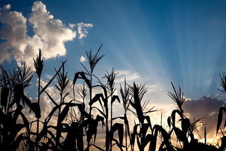 evening back light of sunset on corn field silhouette