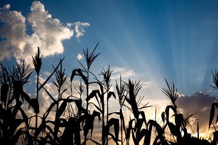 champ de mais: lumi�re arri�re de soir�e du coucher de soleil sur la silhouette de champ de ma�s Banque d'images