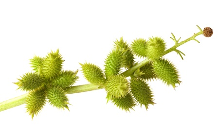 Close-up of cocklebur (Xanthium) branch with sticky seedpods