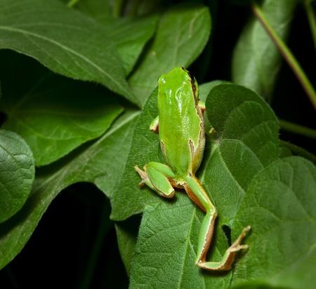 arboreal frog: Primer plano de rana Europea (Hyla arborea) escalada en hojas en la noche